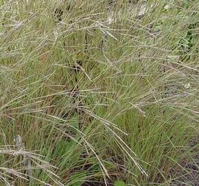 Vousatice metlatá 'Wildwest' - Andropogon scoparius 'Wildwest'