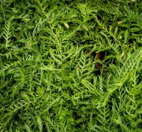 Kapraď samec 'Linearis Polydactyla' - Dryopteris filix-mas 'Linearis Polydactyla'