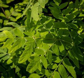 Podezřeň královská 'Purpurescens' - Osmunda regalis 'Purpurescens'
