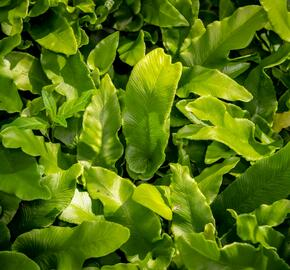 Jelení jazyk 'Undulata' - Phyllitis scolopendrium 'Undulata'