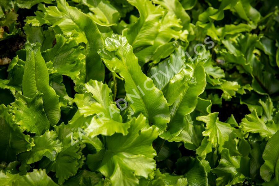 Jelení jazyk 'Cristata' - Phyllitis scolopendrium 'Cristata'