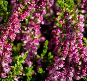 Vřes obecný 'Eckart Miessner' - Calluna vulgaris 'Eckart Miessner'