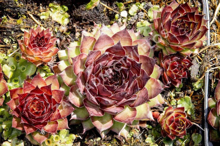 Netřesk 'Dark Beauty' - Sempervivum 'Dark Beauty'