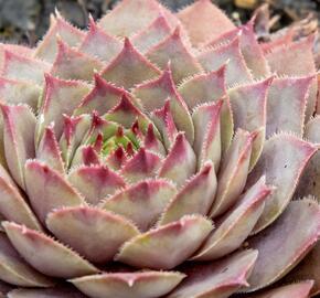 Netřesk 'Lipari' - Sempervivum 'Lipari'