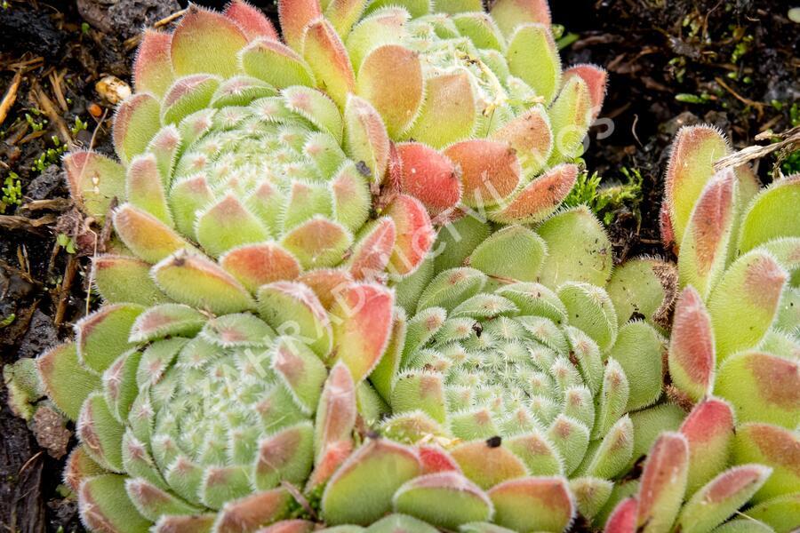 Netřesk - Sempervivum montanum
