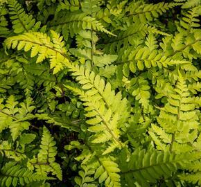 Papratka 'Okanum' - Athyrium otophorum 'Okanum'