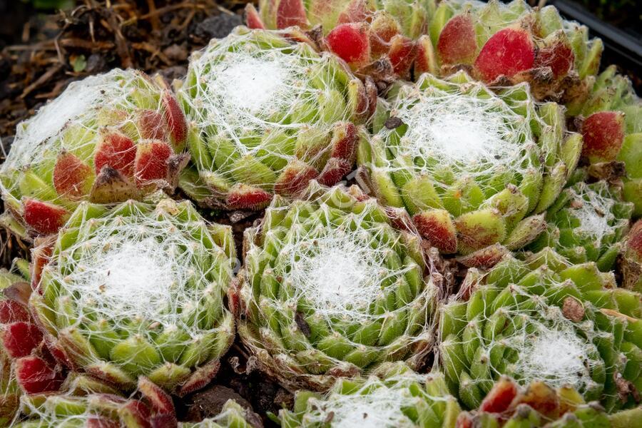 Netřesk pavučinatý - Sempervivum arachnoideum