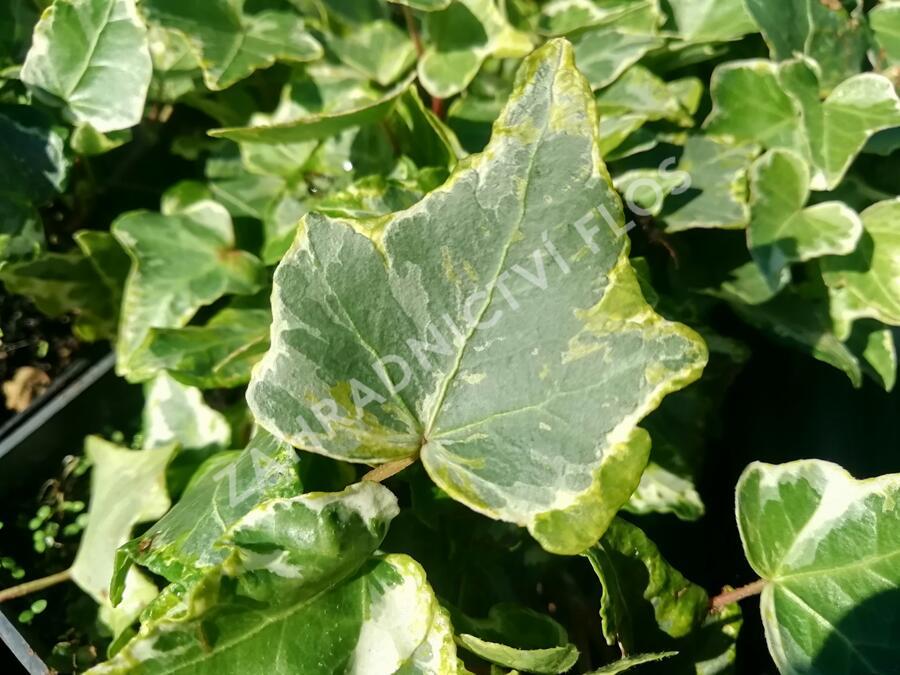 Břečťan popínavý 'Kolibri Mint' - Hedera helix 'Kolibri Mint'