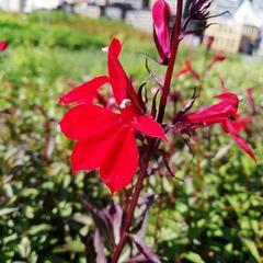 Lobelka 'Fanship Burgundy' - Lobelia speciosa 'Fanship Burgundy'