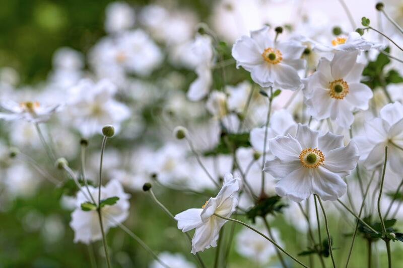 Trvalky kvetoucí na podzim