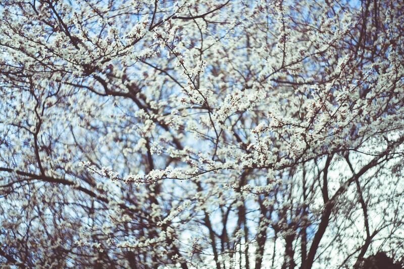 Bíle kvetoucí stromy