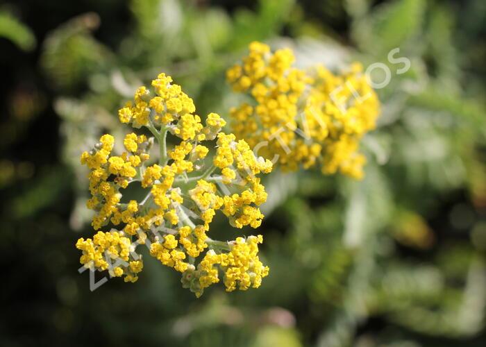 Řebříček tužebníkovitý 'Coronation Gold' - Achillea filipendulina 'Coronation Gold'