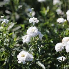 Řebříček bertrám 'Peter Cottontail' - Achillea ptarmica 'Peter Cottontail'