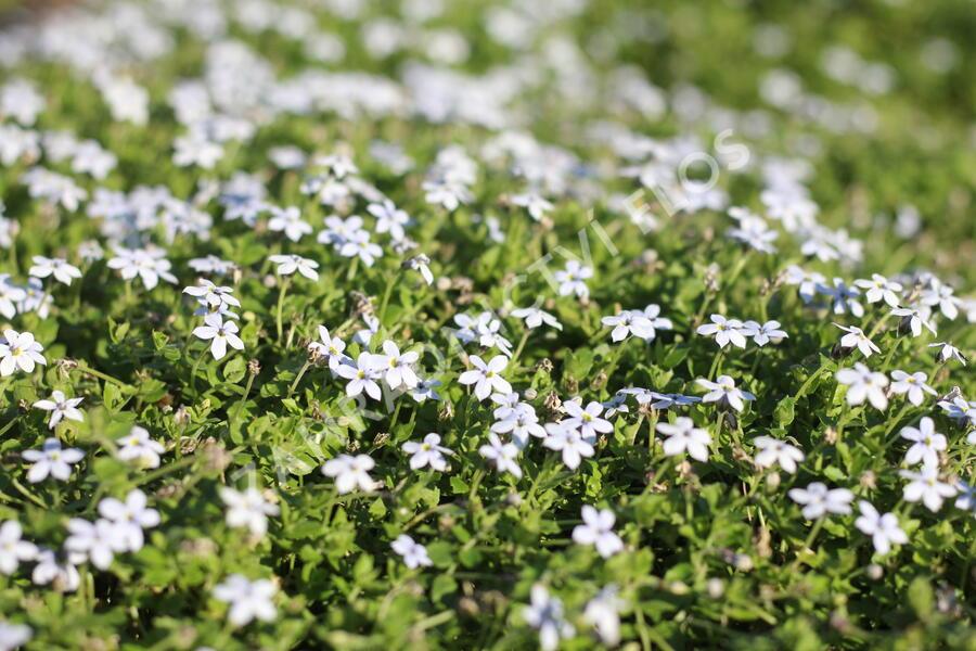 Isotoma 'White' - Isotoma fluviatilis 'White'