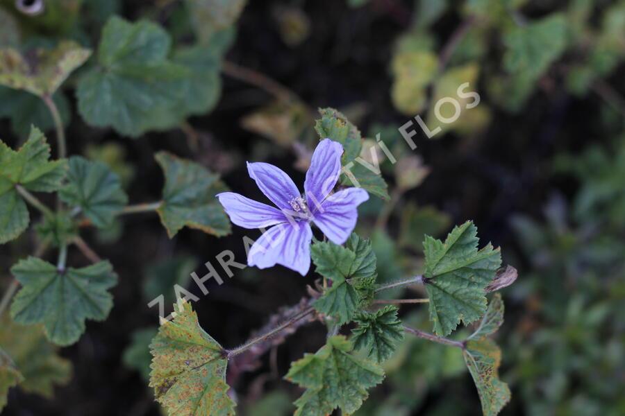 Sléz lesní 'Blue Fountain' - Malva sylvestris 'Blue Fountain'