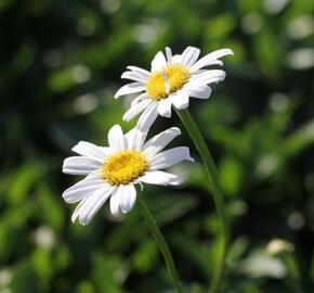 Kopretina největší 'Becky' - Leucanthemum maximum 'Becky'