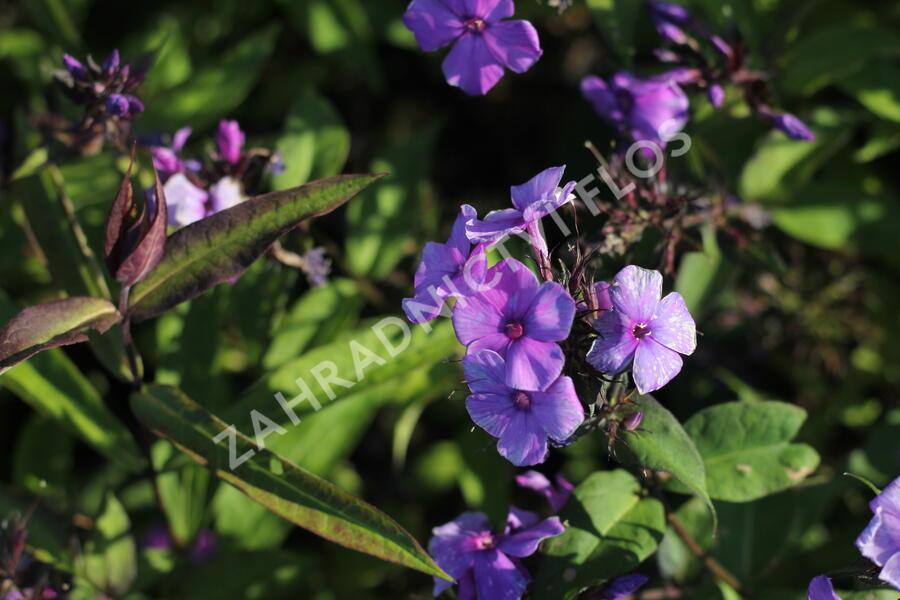 Plamenka latnatá 'Blue Paradise' - Phlox paniculata 'Blue Paradise'