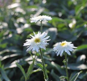 Kopretina velkokvětá 'Wirral Supreme' - Leucanthemum x superbum 'Wirral Supreme'