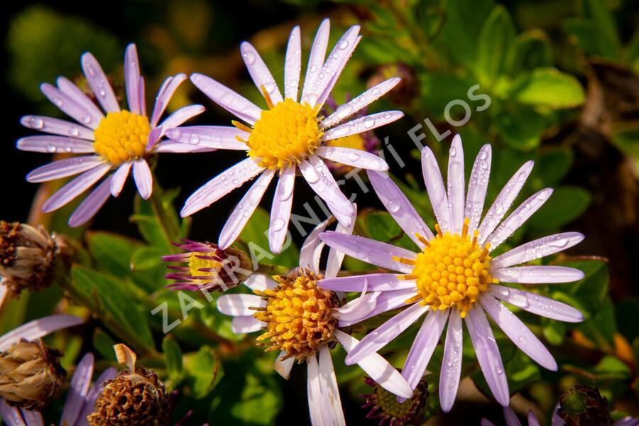 Hvězdnice 'Asmoe' - Aster ageratoides 'Asmoe'