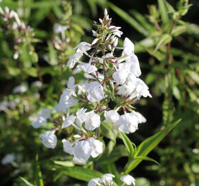 Plamenka 'Schneelawine' - Phlox maculata 'Schneelawine'