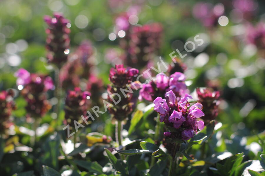 Černohlávek velkokvětý 'Gruß an Isernhagen' - Prunella grandiflora 'Gruß an Isernhagen'