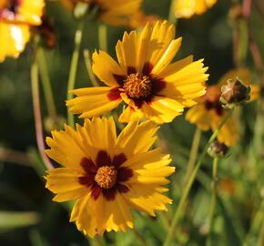 Krásnoočko velkokvěté 'Sonnenkind' - Coreopsis grandiflora 'Sonnenkind'