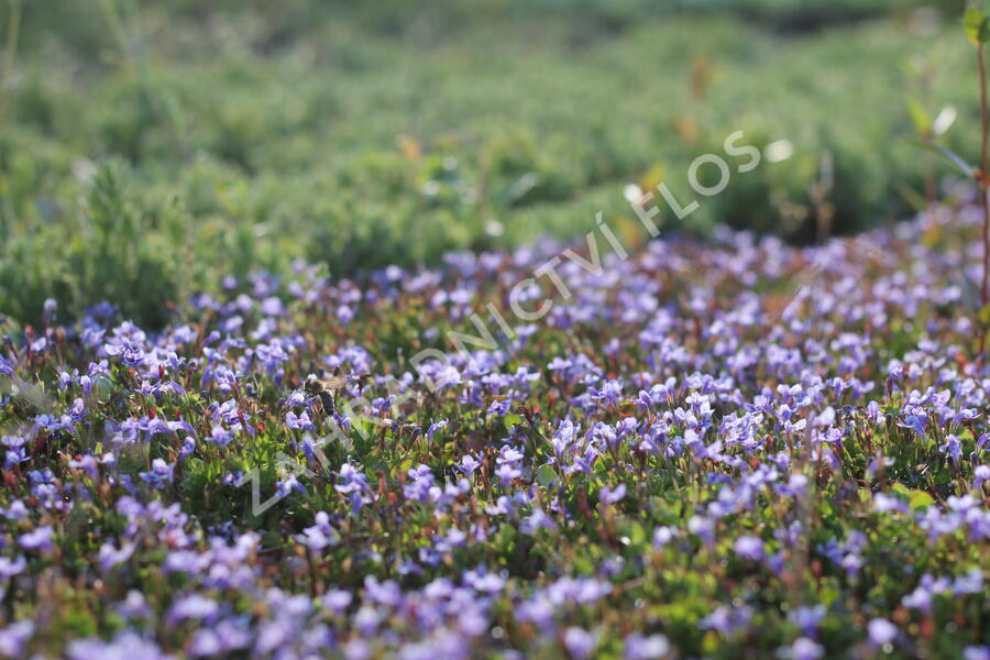 Puštička - Lindernia grandiflora