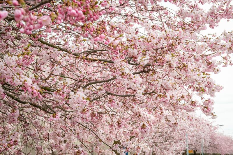 Sakury - Prunus