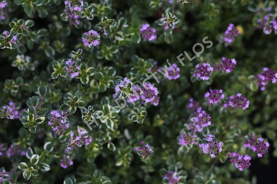 Mateřídouška vejčitá 'Foxley' - Thymus pulegioides 'Foxley'
