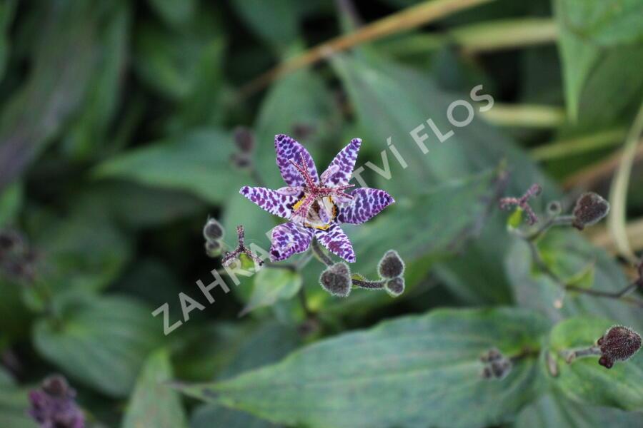 Liliovka stopkatá, hadí lilie - Tricytris macropoda