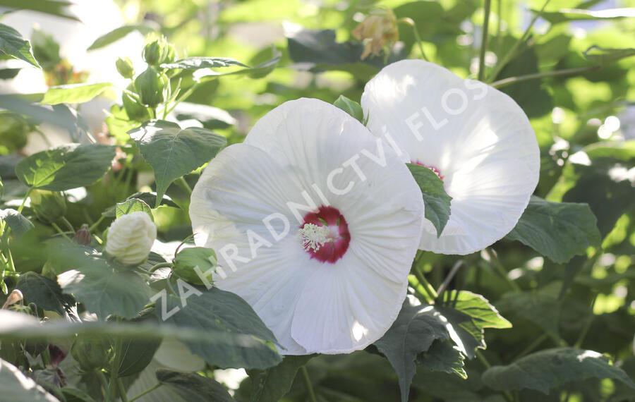 Ibišek bahenní 'Blanc Coeur Rouge' - Hibiscus moscheutos 'Blanc Coeur Rouge'