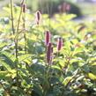 Krvavec 'Blackthorn' - Sanguisorba hybrid 'Blackthorn'