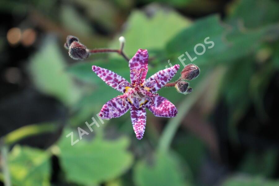 Liliovka, hadí lilie 'Purple Beauty' - Tricyrtis formosana 'Purple Beauty'