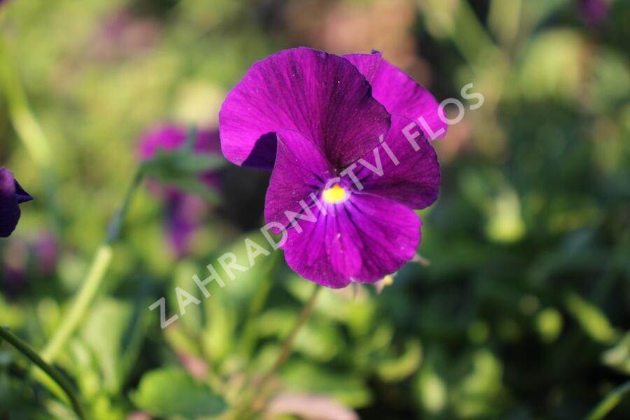 Violka růžkatá 'Martin' - Viola cornuta 'Martin'