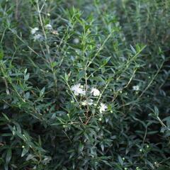 Myrta obecná ssp. tarentina - Myrtus communis ssp. tarentina