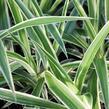 Zelenec 'Ocean' - Chlorophytum comosum 'Ocean'