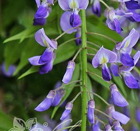 Vistárie květnatá 'Royal Purple' - Wisteria floribunda 'Royal Purple'