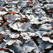 Dlužela 'Plum Cascade' - Heucherella 'Plum Cascade'®