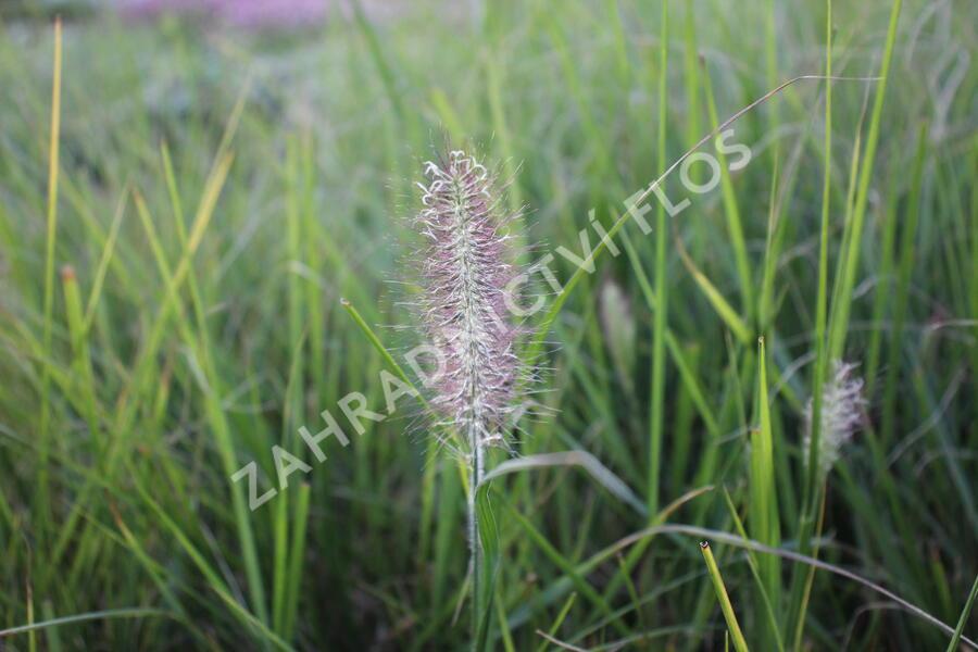 Dochan psárkovitý 'Reborn' - Pennisetum alopecuroides 'Reborn'