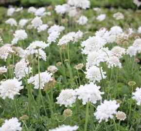Hlaváč 'Flutter Pure White' - Scabiosa columbaria 'Flutter Pure White'