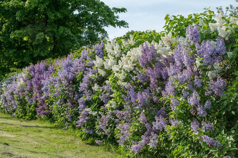Nejoblíbenější keře pro živé ploty se slevou 15 %