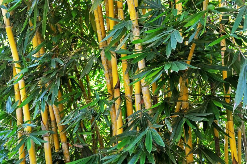 Mrazuvzdorné bambusy