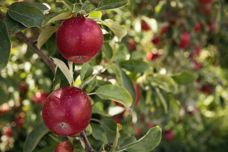 Mrazuvzdorné ovocné stromky