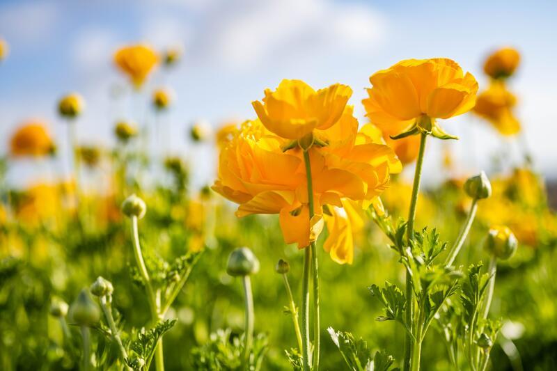 Žlutě kvetoucí trvalky