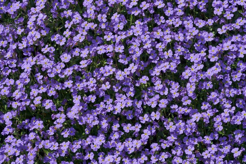 Fialově kvetoucí trvalky