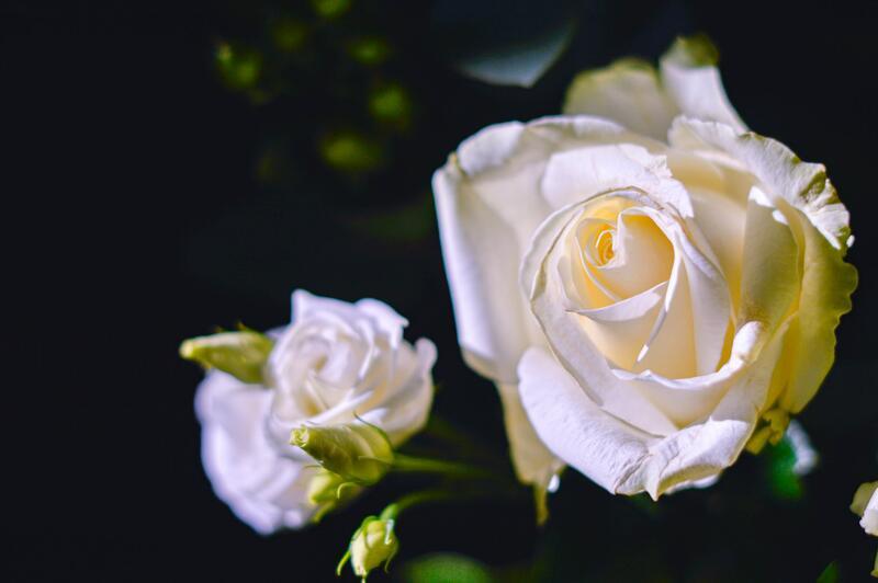 Bíle kvetoucí růže