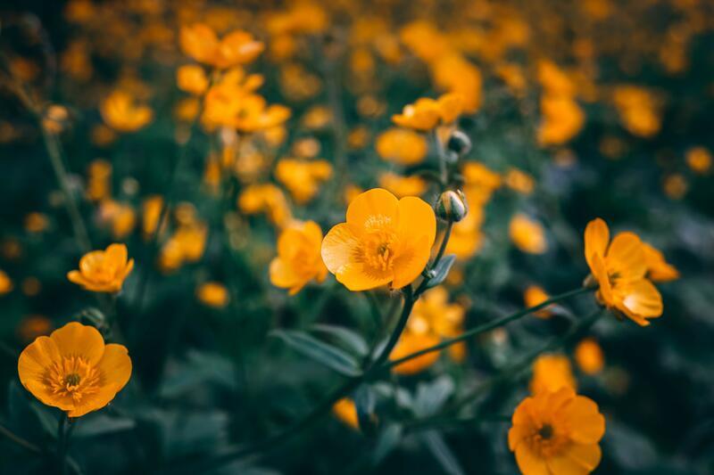 Oranžově kvetoucí trvalky