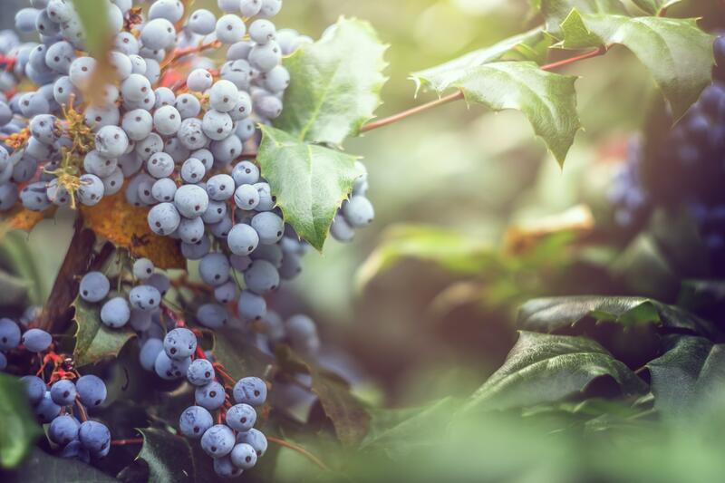 Keře s modrými plody