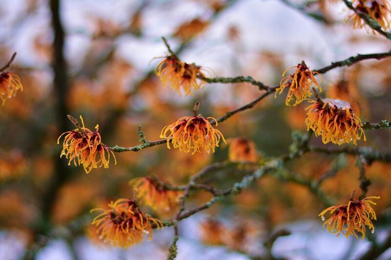 Mrazuvzdorné kvetoucí keře