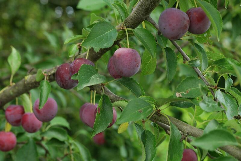 Slivoně - Prunus